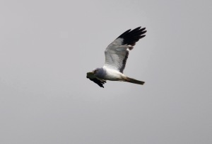 Hen harrier ireland