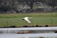 Bird surveys Ireland and UK (1)