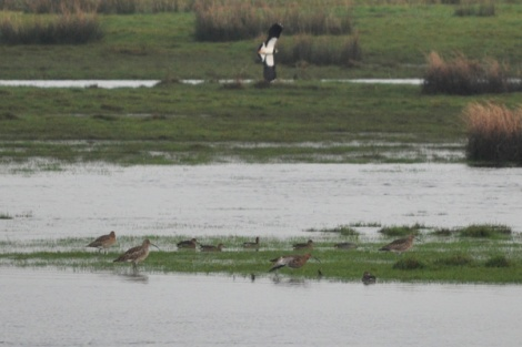 Curlew and lapwing