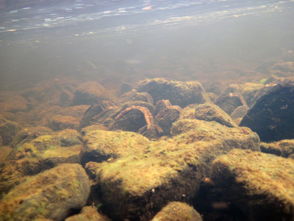 Freshwater Pearl Mussel (1)