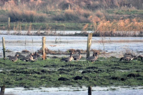Greenland white-fronted geese (4)
