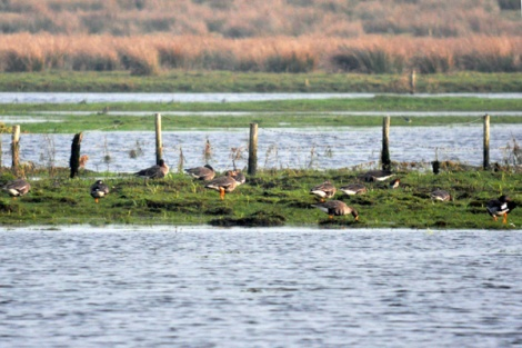 Greenland white-fronted geese (5)