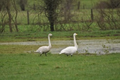 Irish Bird Surveys (1)