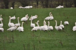 Irish Bird Surveys (34)