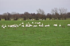 Irish Bird Surveys (35)