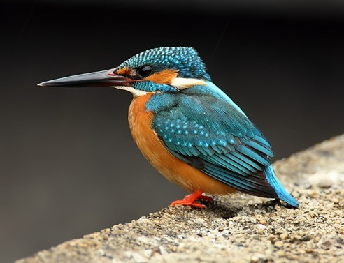 Kingfisher on Unshin River
