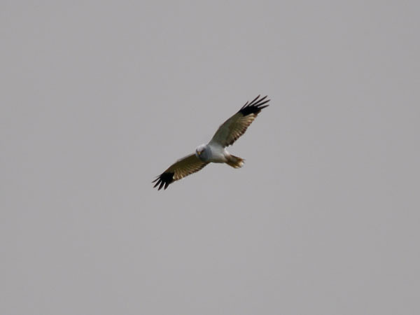 Hen harrier survey