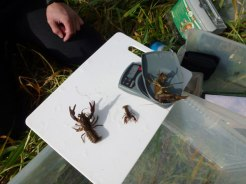 Crayfish Survey