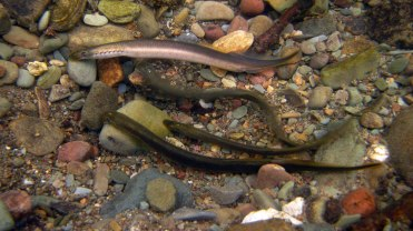 Brook lampreys spawning