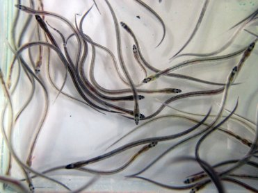 Glass eels Shannon estuary