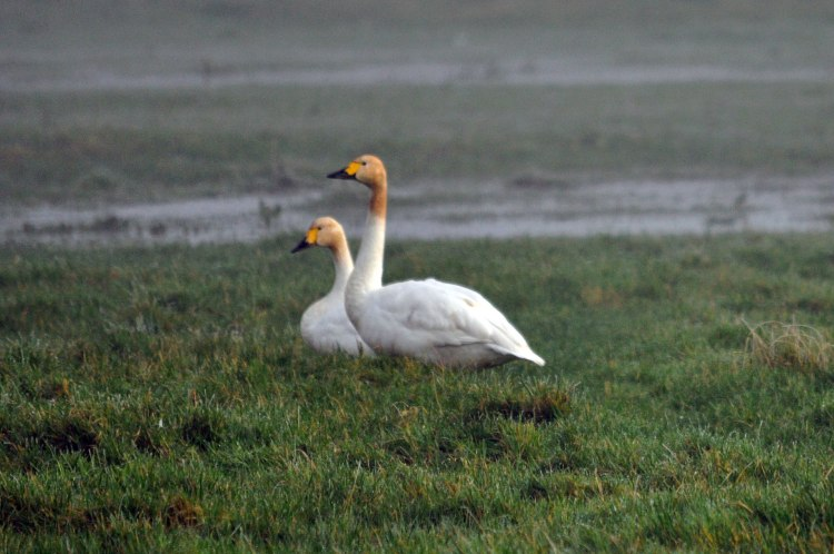 Bewick's swans in the same area during January 2013. Their heads are dirty from feeding in the wet grass.