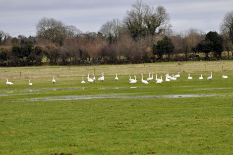 Whooper and Bewick's swans