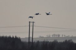 Whooper swans and power lines (1)