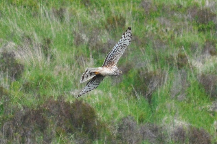 Female Hen Harrier, Co Kerry.