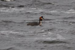 Grebe-Lough-Derg