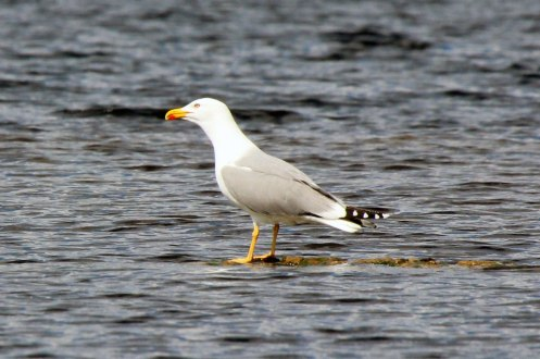 L Yellow-legged-gull