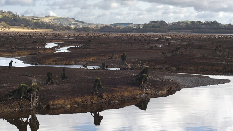 The western end of Carrigadrohid reservoir showing the tree trunks of the ancient Gearagh alluvial forest which was felled and flooded by the ESB in the 1950s.