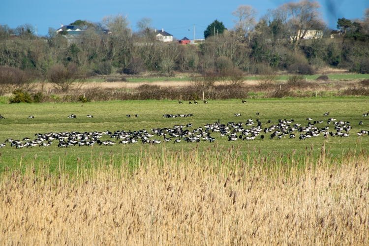 Light-bellied Brent Geese on the North Slob, February 2016.