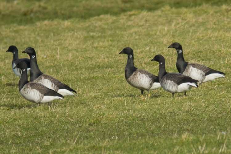 Over 2,000 Light-bellied Brent Geese, which breed in Arctic Canada, winter in the Wexford slobs each year.